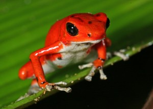 Red frog seen on Panama cruise
