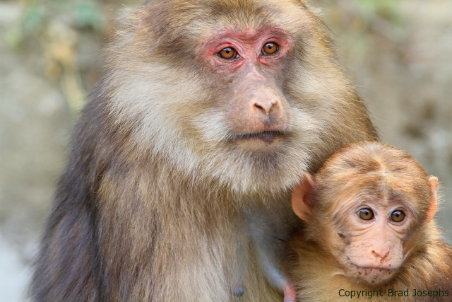 Mother macaque and baby Brad Josephs