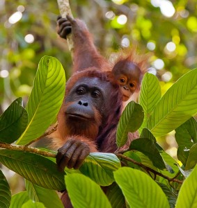 Mother Orangutan and baby orangutan at Danum Valley, Borneo