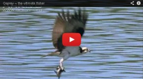 Watch as Ospreys Demonstrate Their Hunting Skills