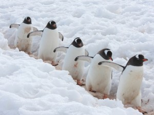 Gentoo penguins spotted on Antarctica cruise