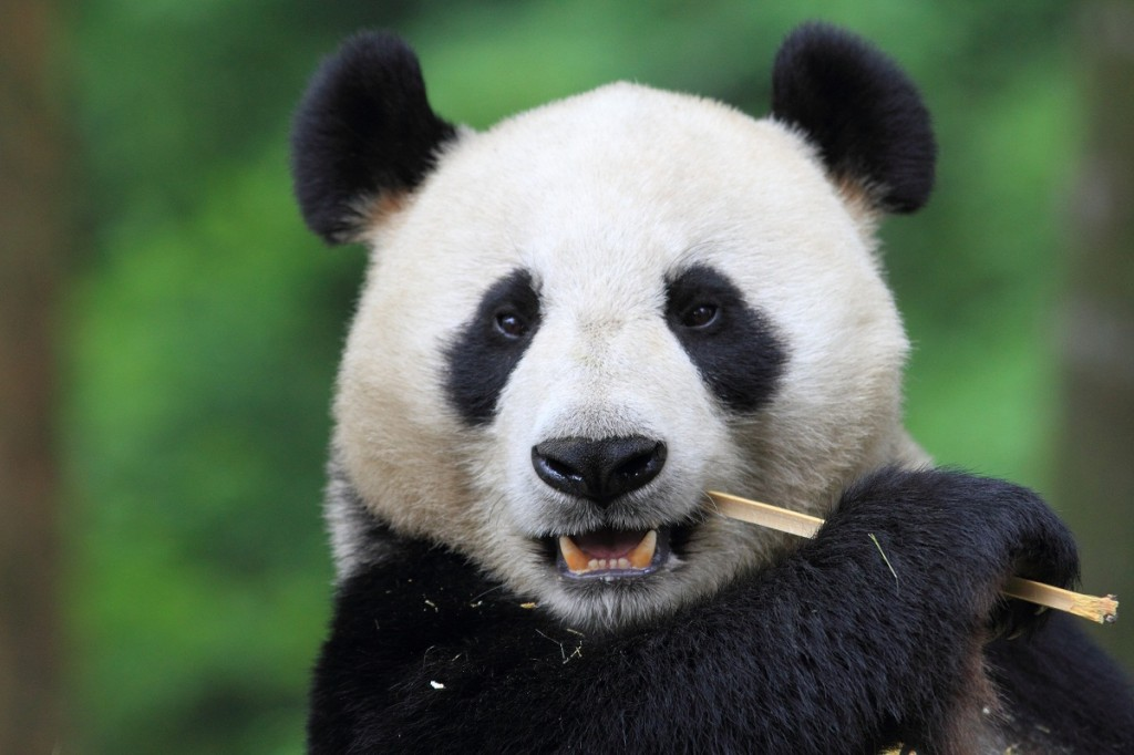 Giant panda eating bamboo on Natural Habitat Tour