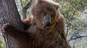 Photo Essay: Grizzly Climbs a Tree in Katmai National Park and Preserve