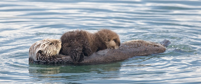 Sea otter nursing its young.