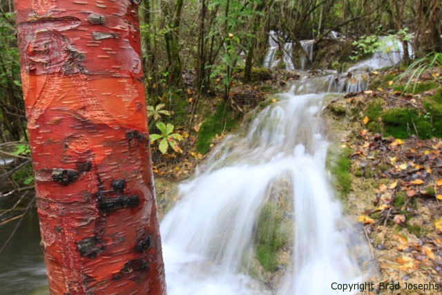 Red birtch and waterfalls in Jiuzhaigou National Park
