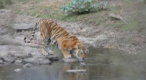 Poachers Hack into a Tiger's GPS Collar: Are Wildlife Tracking Devices Helping Criminals?