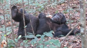 On the Ground with Chimpanzees & Mountain Gorillas