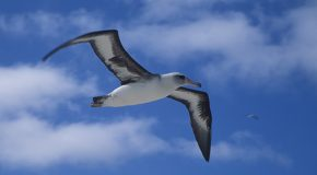 Video: Effects of the Great Pacific Garbage Patch on Midway Atoll Albatrosses