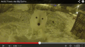 A Fox Ate Justin's GoPro!
