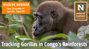 Wildlife Webinar: Tracking Gorillas in Congo's Rainforests