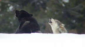 An Untrue Wolf Story: Continuing the Conversation