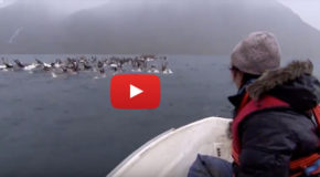 Video: Helping Reindeer Cross a Treacherous Strait