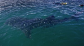 Know Before You Go: Responsible Whale Shark Tourism in Mexico