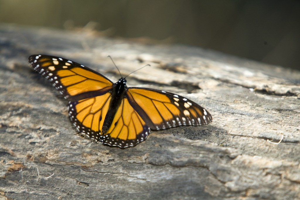 Monarch butterfly. Photo © Colin McNulty