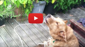 Videos: Dogs React to Recorded Wolf Howls