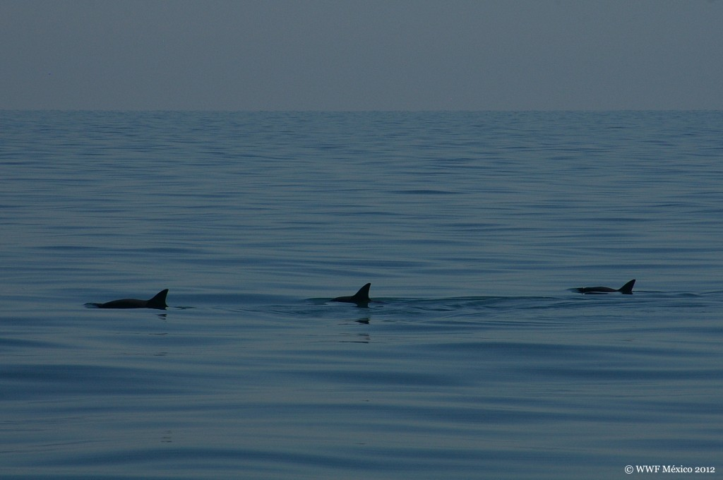 Group of Vaquitas