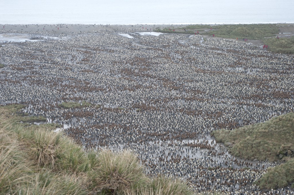 Penguin colony, Falkland Islands