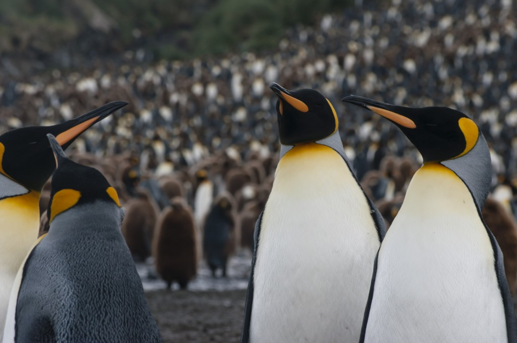 King Penguins, The Falklands