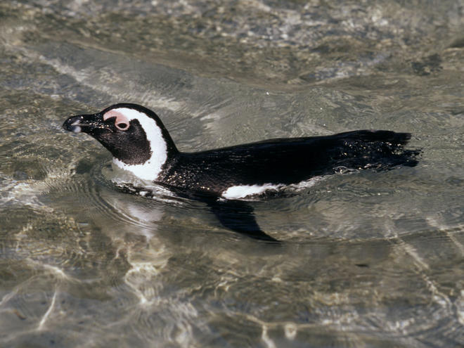 An African penguin. Photo © Martin Harvey/WWF-Canon