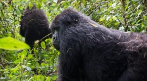 Q and A: Mountain Gorilla Trekking