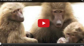 Video: The Top 25 Most Intelligent Nonhuman Animals