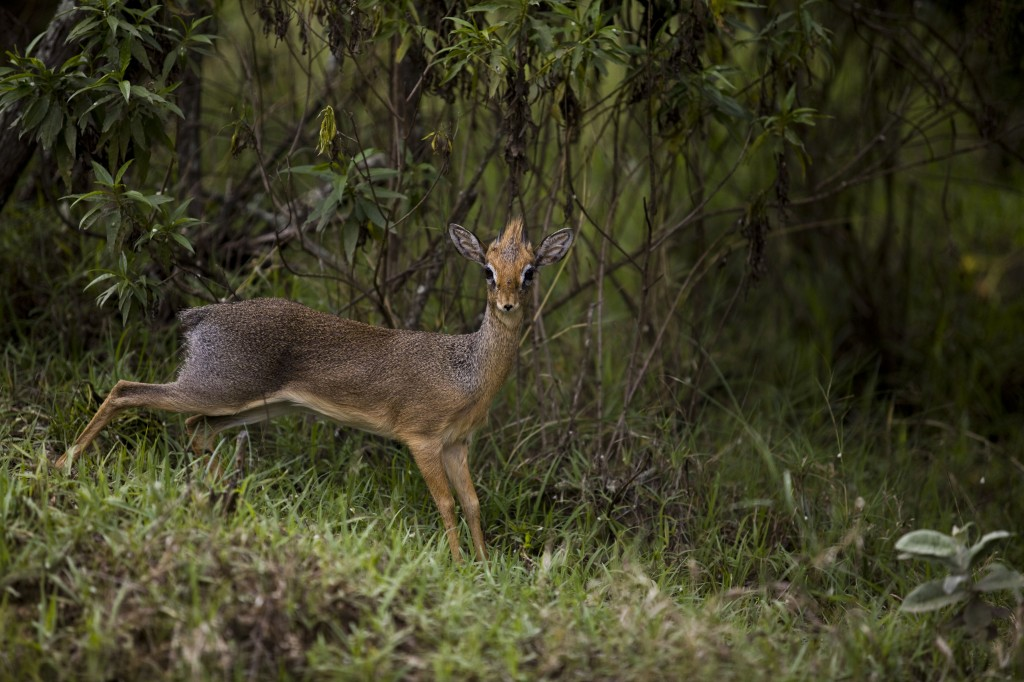A Kirk's dik-dik in Kenya. Photo © WWF-Canon/Simon Rawles