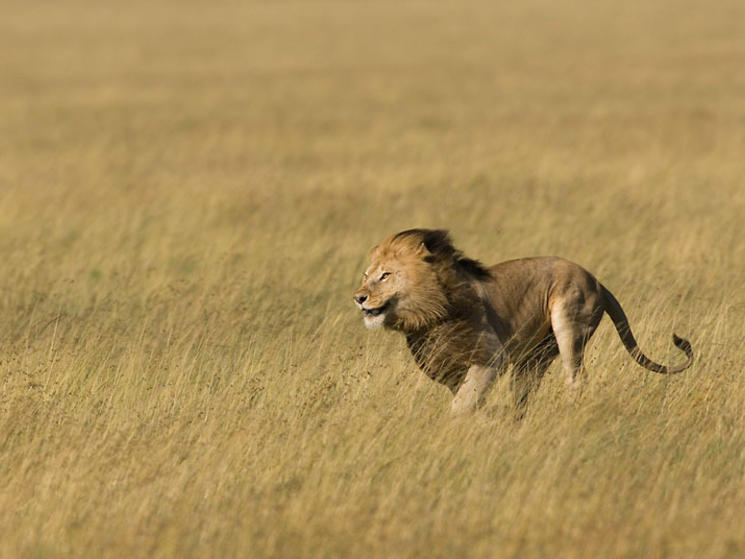 lion running across savannah