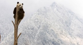 Ten Interesting Facts about Giant Pandas