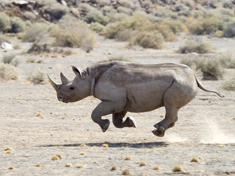 Rhino on the move © Dana Allen/Wilderness Safaris