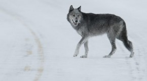 Ten Interesting Facts about Gray Wolves