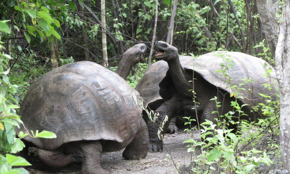 galapagos islands, giant tortoises