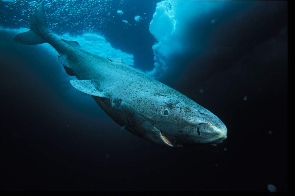 Greenland shark, Lancaster Sound, Nunavut, Northwest Territories, Canada. © National Geographic Stock / Paul Nicklen / WWF