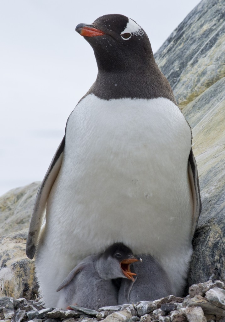 Baby penguin chick in nest, Antarctica