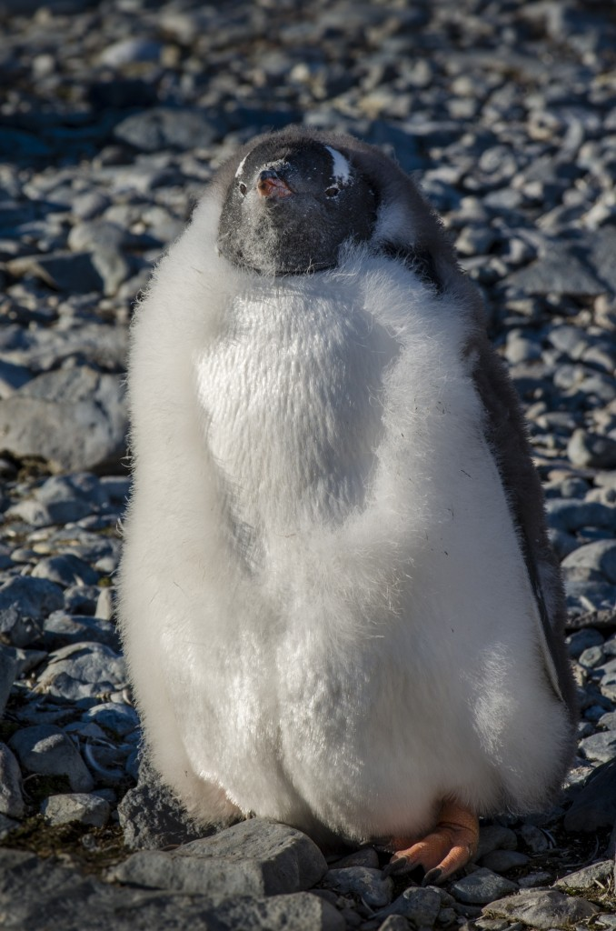 Molting baby penguin chick, Antarctica