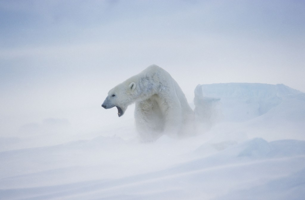Despite the harsh conditions of their environment, polar bears tend to overheat easily due to their fur's incredibly efficient insulating properties. Photo (c) naturepl.com/Andy Rouse/WWF-Canon