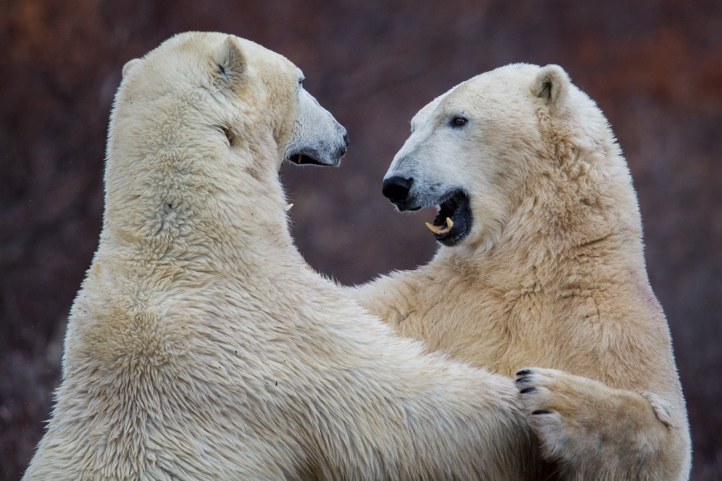 Play fighting occurs between male bears to tune up hunting skills; fighting is aggressive when it occurs between males during breeding season or when attempting to steal food. Photo (c) Jeff A. Goldberg