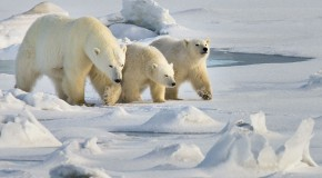 Google Hangout with WWF: All About Polar Bears