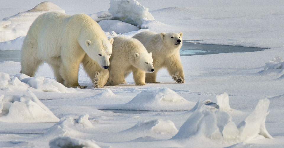 polar bear mother and two cubs, Churchill, Manitoba, Canada