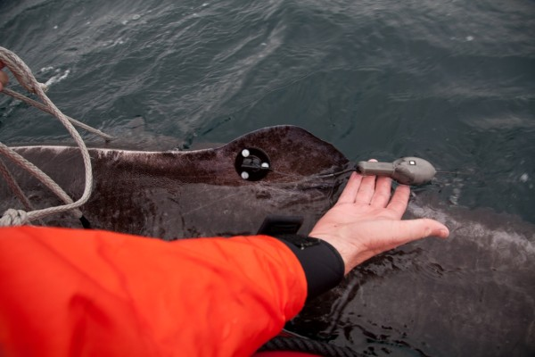The research team attaches satellite tags to Greenland sharks' dorsal fins, which will transmit data about the depths and temperatures of where the sharks are swimming. © Evan Paul-University of Windsor