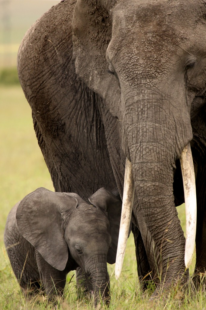 baby and mother elephants