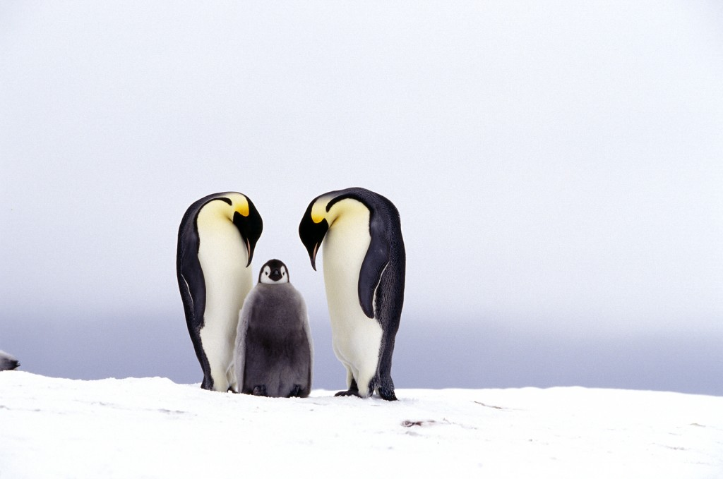 emperor penguins with baby