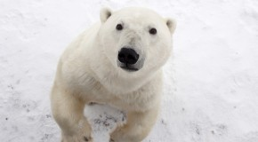 Photos: 10 Incredible Pictures of Polar Bears in the Wild