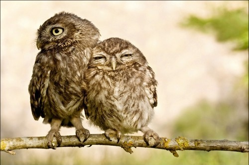 owls on a treebranch
