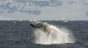 Inside Antarctica: A Rare Glimpse of a Whale Breaching