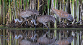 A Great Migration: Sandhill Cranes and Their Very Small Plot of Land