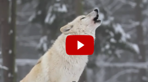Video: Did the Reintroduction of Wolves Truly Change Yellowstone?