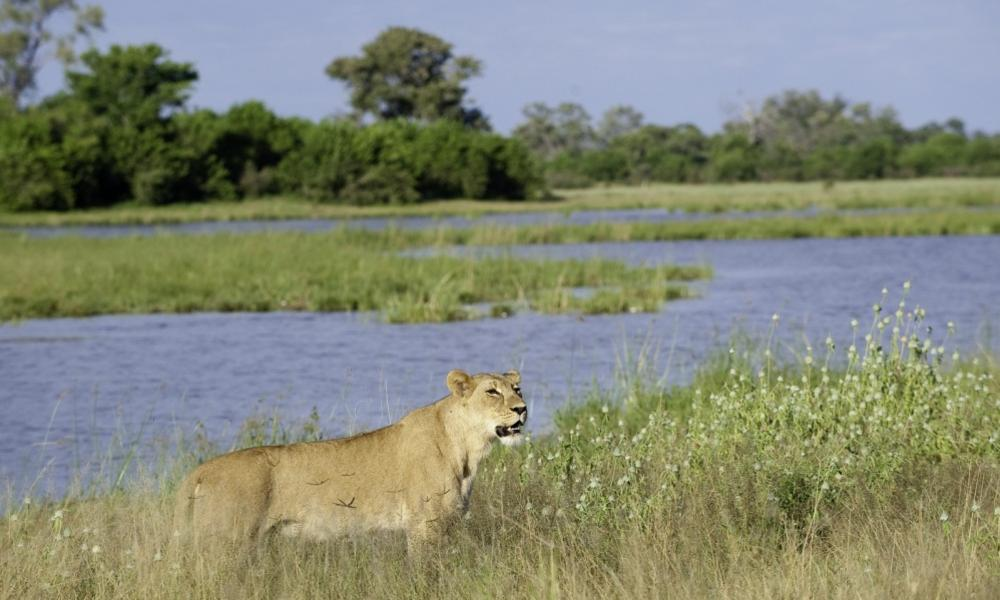 A lioness patrols the water's edge along the Savuti Channel in Botswana.