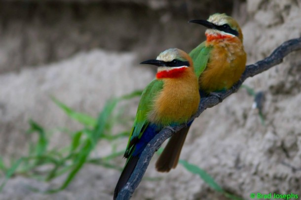 Two white fronted bee eaters, birds in Botswana