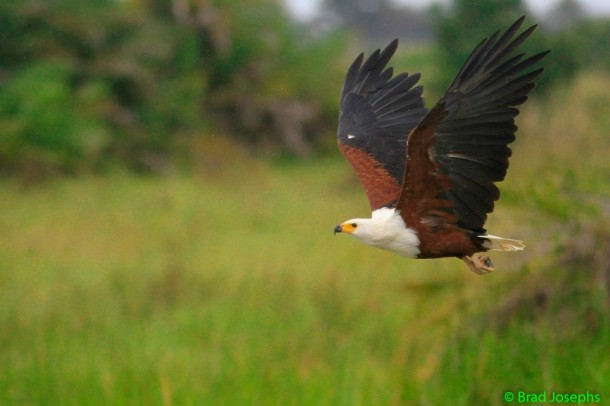 African fish eagle mid-flight.