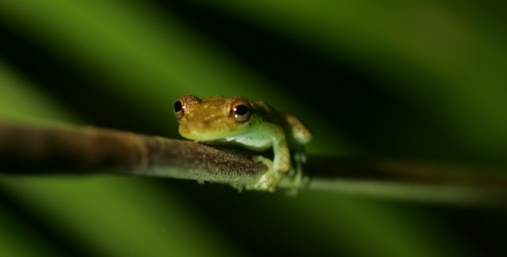 Frog in Costa Rica, Ecotourism, Ecotour